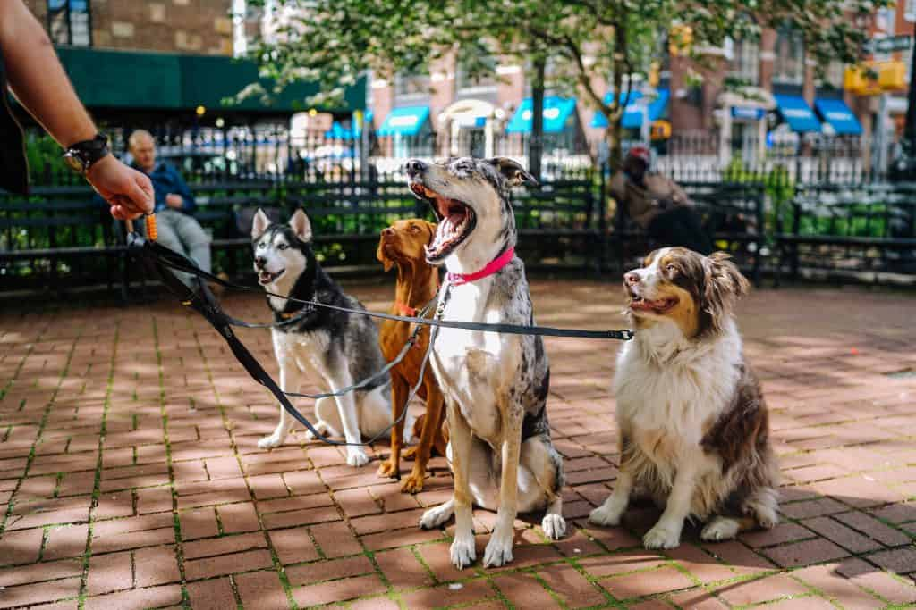 dog walker with a group of dogs on leashes in the park husky border collie great dane vizsla