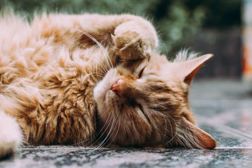 orange tabby cat laying down with paw on face